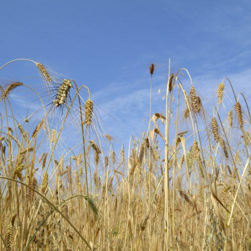 Designs using ancient wheats